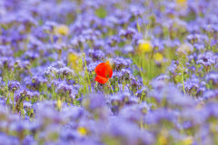 Field of Phacelia Stock Photography