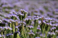 Field of Phacelia tanacetifolia or Lacy Phacelia. Purple nectar-rich flowers of Phacelia tanacetifolia, also called Lacy Phacelia and Purple Tansy, which is used Royalty Free Stock Photos