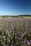 Field with Phacelia tanacetifolia Stock Images