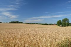 Field. Photo shows a field of wheat Royalty Free Stock Photos