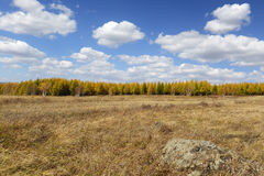 Field and pine forest with cloudy sky in autumn. Grassland and tree in inner mongolia in autumn royalty free stock photography