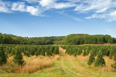 Field of pine trees. Christmas tree farm full of pine trees in early autumn Stock Photos