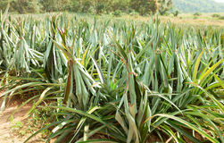 The field  of pineapples Royalty Free Stock Photography