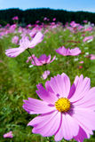 Field of pink cosmos flowers and blue sky Stock Images