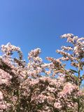 Field pink flowers, blue sky royalty free stock images
