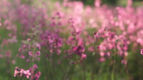 Field of pink flowers, close-up. Pink flowers of wild carnation in the field on a sunny afternoon, close-up stock video footage
