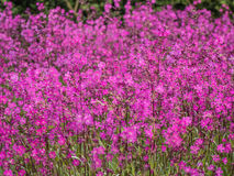 Field of pink flowers Stock Photo