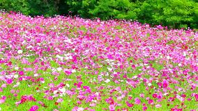 Field of pink flowers, HD 1080P Stock Photo