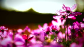 Field of pink flowers, HD 1080P Stock Image