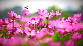 Field of pink flowers, HD 1080P stock footage