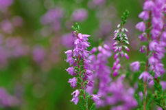 Field of pink heather Royalty Free Stock Photography