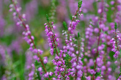 Field of pink heather Royalty Free Stock Images