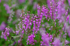 Field of pink heather Stock Photography
