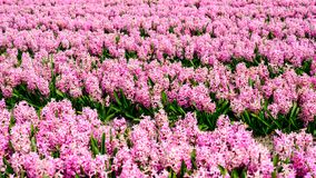Field of  pink hyacinth in Holland , spring time colourful flowers. Field and pink hyacinth in Holland , spring time royalty free stock image