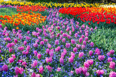 Field of pink hyacinths and red tulips Royalty Free Stock Images