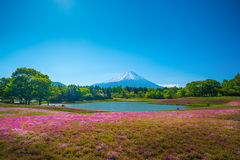 Field of pink moss of Sakura or cherry blossom in Japan Stock Images