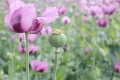Field of pink opium poppy Stock Photos