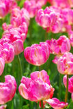 Field of pink parrot tulips with variety Diana Ross Stock Image