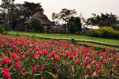 Field of pink portulaca flowers stock images
