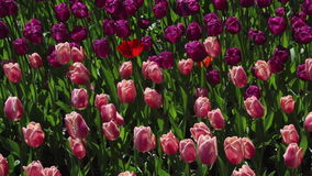 Field of pink and purple  tulips blooming stock footage
