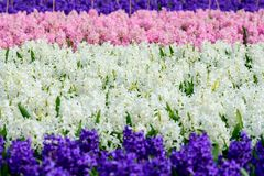 Field of pink, purple and white hyacinth in Holland , spring time colourful flowers. Field of pink ,purple and white hyacinth in Holland , spring time royalty free stock image