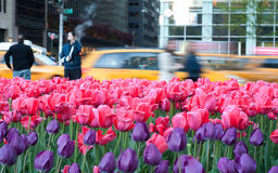 Field of Pink and purtle tulips in manhattan. Shot of a field of tulips in central park, new york city Stock Photos