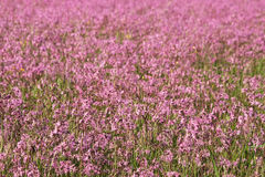Field of pink ragged lychnis. The whole field lychnis jagged (Silene flos-cuculi) lovely flower of the family clove Stock Image