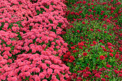 Field of Pink and Red Mums Royalty Free Stock Photos