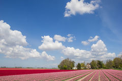 Field of pink and red tulips Stock Photo