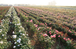 Field of pink roses. In the morning sun Royalty Free Stock Images