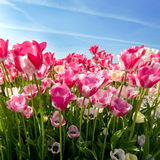 Field of pink tulips Stock Photos