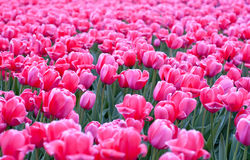 Field of pink tulips. Shot of a field of tulips Stock Photo