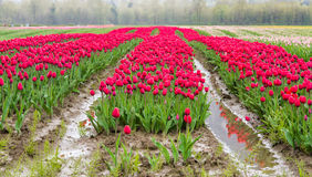 Field of Pink Tulips Stock Images