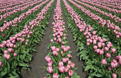 Field of pink tulips Stock Image