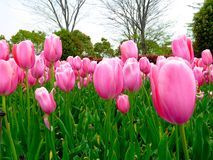 A field of pink tulips blooming Stock Photo