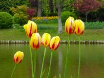 A field of pink tulips blooming near a lake Royalty Free Stock Image