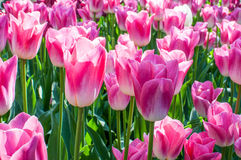 Field of pink tulips. A field of pink tulips blooming in the sun Stock Images
