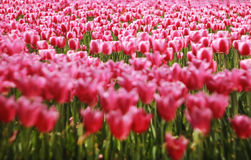 Field of pink tulips. Field of colorful pink tulips in the spring Royalty Free Stock Image