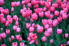 Field with pink tulips in early morning spring sunlight Royalty Free Stock Photos