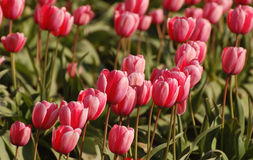 A Field of Pink Tulips. Every spring near Mt. Vernon, Washington, there are fields of tulips.  People come from all over the world to see the flowers.  Some Royalty Free Stock Image