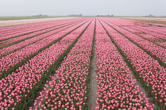 Field of pink tulips in Holland. Netherlands Royalty Free Stock Image