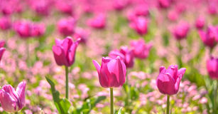Field of pink tulips Royalty Free Stock Photography