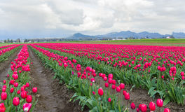 Field of Pink Tulips Royalty Free Stock Images