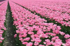 Pink flowerfields rows along the touristic tulip route in Noordoostpolder, Holland Royalty Free Stock Images