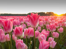 Field of pink tulips at sundown Royalty Free Stock Photo