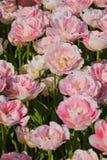 Beautiful Rose Tulips in Spring stock photo