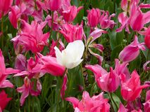 A field of pink tulips and a white tulip blooming Stock Images