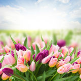 Field  of pink and violet tulips Royalty Free Stock Photos