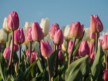 Field of pink and white tulips in the setting sun Stock Photos