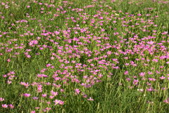 Field of Pink Wildflowers. A beautiful green country field, filled with tiny pink wildflowers in summer stock image